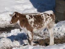 红色和白色霍尔斯坦小牛在冬天 免版税库存图片