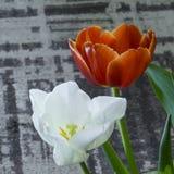 红色和白色颜色特写镜头的郁金香芽 库存照片