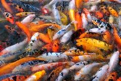 红色和白色鱼在水中 库存图片
