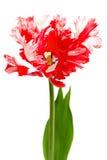 红色和白色鹦鹉郁金香 免版税图库摄影
