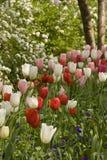 红色和空白郁金香在庭院里 免版税库存照片