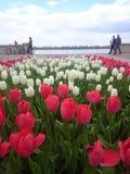 红色和空白郁金香 免版税库存图片