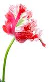 红色和空白鹦鹉郁金香 免版税库存照片