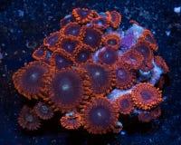 红色和紫色zoanthid珊瑚 库存照片