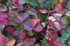红色和绿色叶子背景水平的照片  免版税库存图片