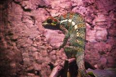 红色和绿色着色镶边的和被察觉的变色蜥蜴与bugling的注视 图库摄影