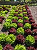 红色和绿色莴苣 库存图片