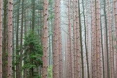 春天,杉木森林 图库摄影