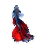 红色和蓝色暹罗战斗的鱼,在黑背景隔绝的betta鱼 免版税库存图片