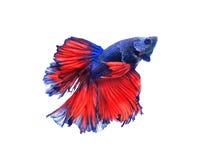 红色和蓝色甲晕蝴蝶暹罗战斗的鱼, betta f 免版税库存照片