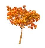 红色和金子秋天在白色的槭树 图库摄影