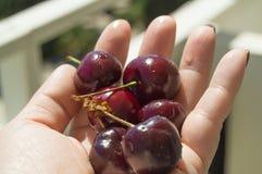 红色和非常成熟樱桃在女性棕榈,明亮的阳光 图库摄影