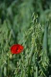 红色和麦子 免版税库存照片