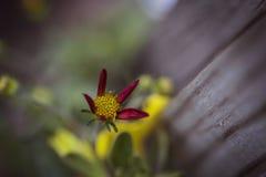 红色和黄色发芽的花 免版税库存图片