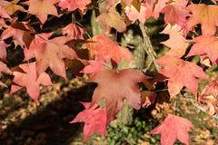红色和黄色叶子在秋天 库存照片