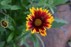 红色和黄色天人菊属植物花 图库摄影