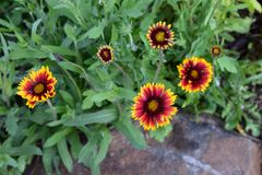 红色和黄色天人菊属植物花 免版税库存图片