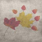 红色和黄色枫叶用在白色背景的空泡莓果 免版税库存照片