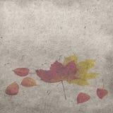 红色和黄色枫叶用在白色背景的空泡莓果 库存照片
