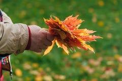 红色和黄色槭树叶子在手上 库存图片