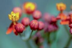红色和黄色热带乳草花 库存照片