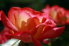 红色和黄色玫瑰外形与发光通过瓣的太阳的 库存照片