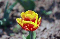 红色和黄色郁金香在庭院里 免版税库存图片