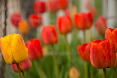 红色和黄色郁金香在早晨太阳 图库摄影