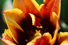 红色和黄色郁金香特写镜头  免版税库存照片