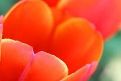 红色和黄色郁金香特写镜头  图库摄影