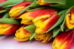 红色和黄色郁金香美丽的花束在桃红色木背景的 关闭 图库摄影