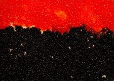 红色和黑色豚鼠属 免版税库存图片