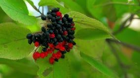红色和黑莓果和秋天黄色叶子 影视素材