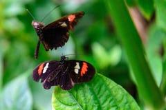 红色和黑共同的邮差蝴蝶 免版税库存图片