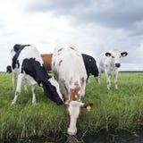 红色和黑母牛在绿色象草的荷兰草甸在荷兰喝 免版税图库摄影