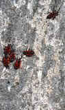 红色和黑甲虫公司在墙壁上的 免版税库存照片
