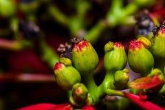 红色和绿色一品红植物特写镜头 库存图片