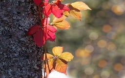 红色和黄色叶子适当作为秋天宽银幕显示backgr 免版税库存图片