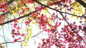 红色和黄色叶子 影视素材