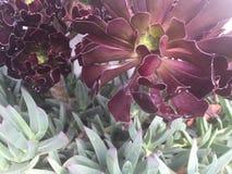 红色和绿色多汁植物 库存图片