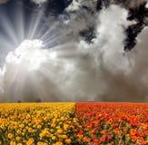 红色和黄色庭院毛茛 库存图片