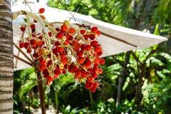 红色和绿色成熟槟榔棕榈 库存图片