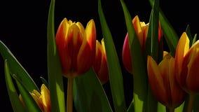 红色和黄色杂种郁金香广角细节在黑暗的背景开花 免版税库存照片