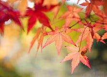 红色和黄色树在树离开在秋天背景 免版税库存图片