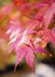 红色和黄色树在树离开在秋天背景 免版税图库摄影