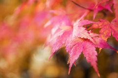 红色和黄色树在树离开在秋天背景 免版税库存照片