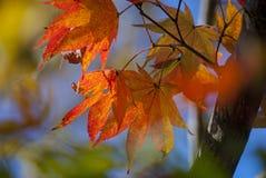 红色和绿色槭树叶子 免版税库存图片