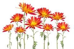 红色和黄色流浪者雏菊拼贴画  图库摄影