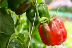 红色和绿色甜椒 库存照片