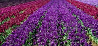 红色和紫色短冷期龙行在领域的 图库摄影
